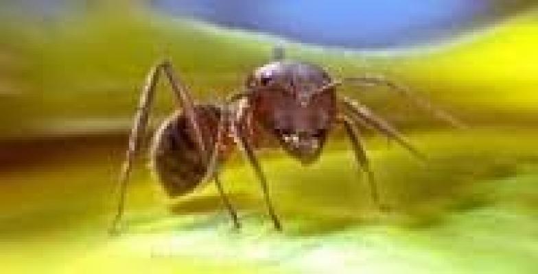 Ata binen karınca!