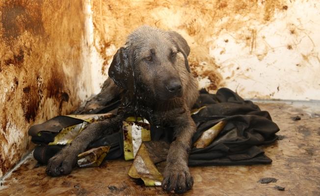 Zifte yapışan köpek, hayata döndürüldü