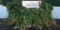 Karamürsel'de 4.175 kök kenevir bitkisi ele geçirildi