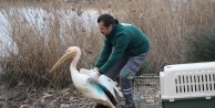 Ak Pelikan tedavi edildi, doğal ortamına salındı!