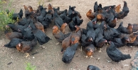 Gezen tavuk desteği için yarın son gün